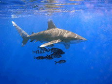 Oceanic White Tips at Elphinstone