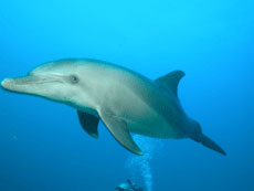 Red Sea Dolphin at Dolphin Reef