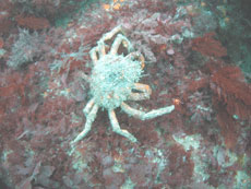 A spider crab on Perveril Ledges!