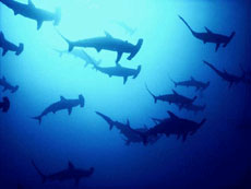Hammerheads at Elphinstone