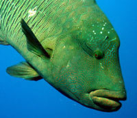 Red Sea Napoleon Wrasse